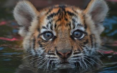 Where have all the tigers gone?